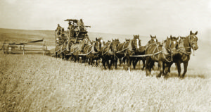 Farmers utilize a team of 14 draft animals to harvest wheat. Source: OSU photo archives.